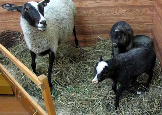 Музей «Царская овца»