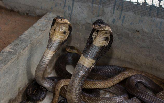 ферма змей в паттайе отстирать