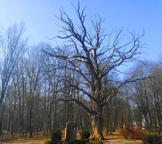 500-летний дуб