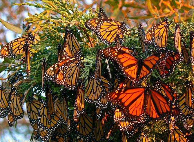 Национальный заповедник бабочек-монарх