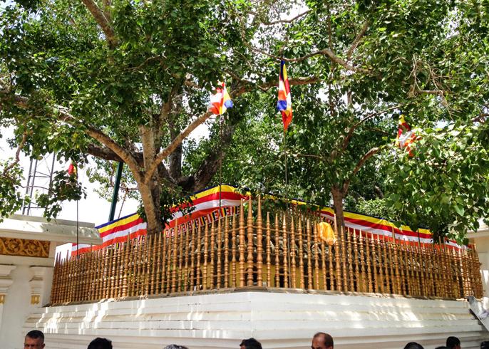 Священное дерево Шри Маха Бодхи