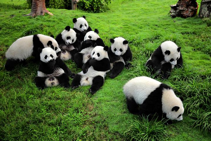 Исследовательский центр по выращиванию панд
