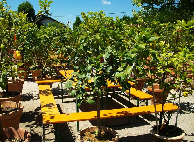 Цитрусовый сад в Фаак-ам-Зе