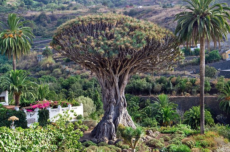 Дерево Дракона