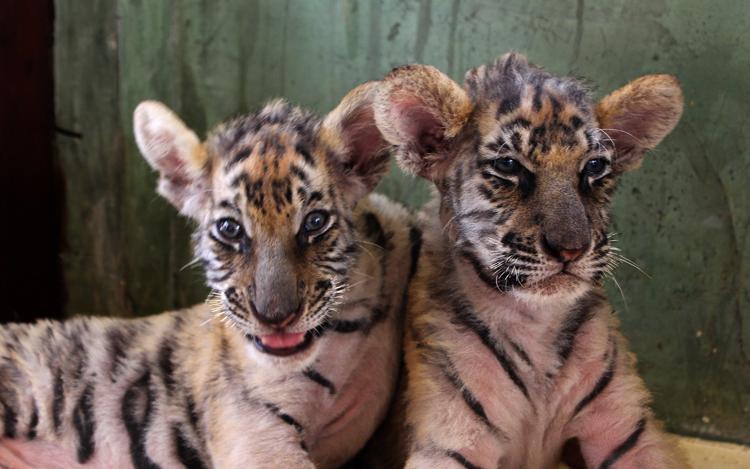 В тигровом зоопарке