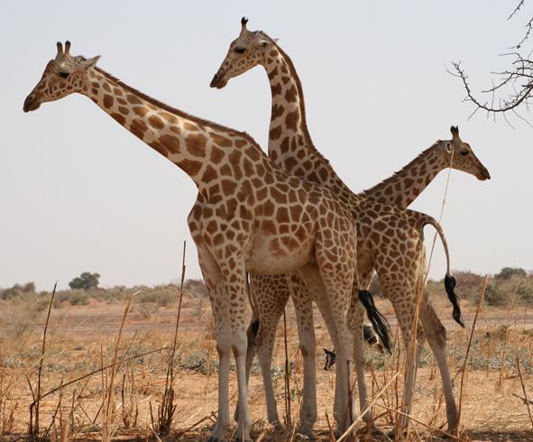 Заповедник жирафов в Куре