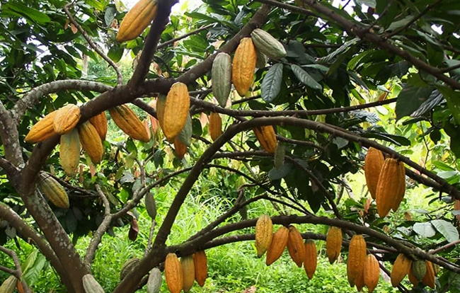 Плантации какао на холмах Аквапим