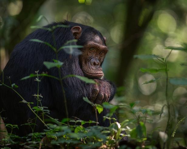 Заповедник шимпанзе