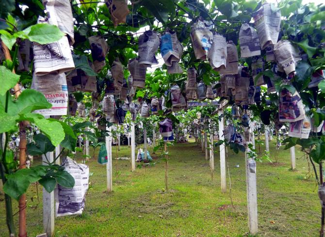 Ферма тропических фруктов