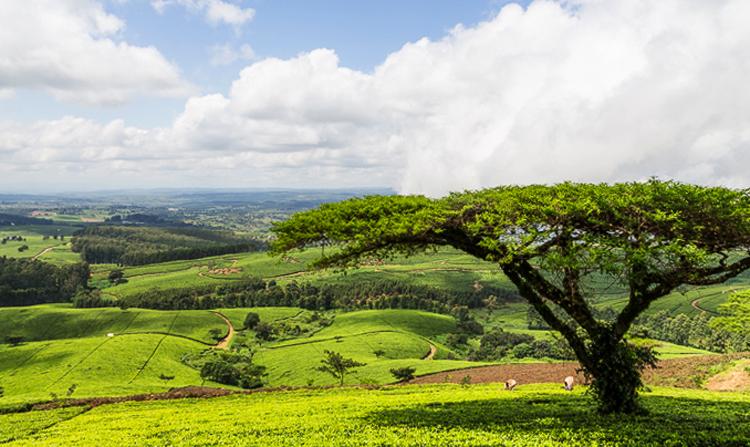 Чайные плантации в Тиоло