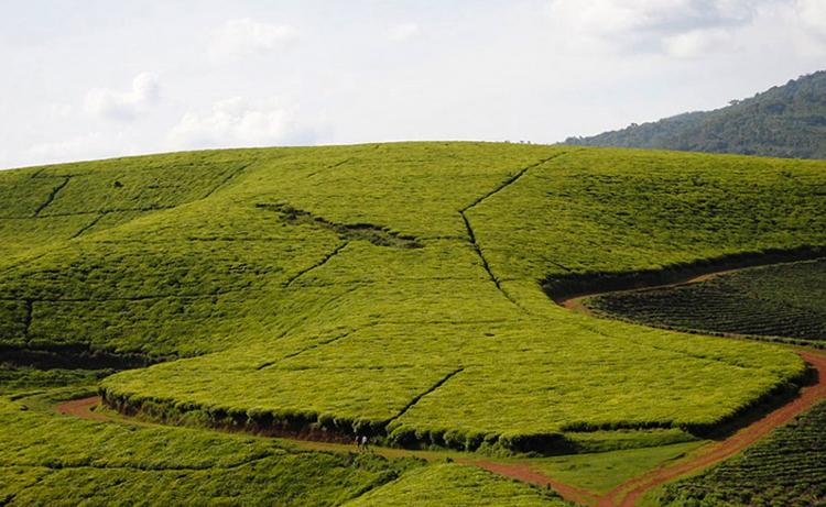 Чайные плантации провинции Теза