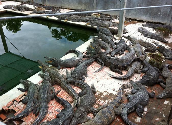 Крокодиловая ферма в Сиен Рип