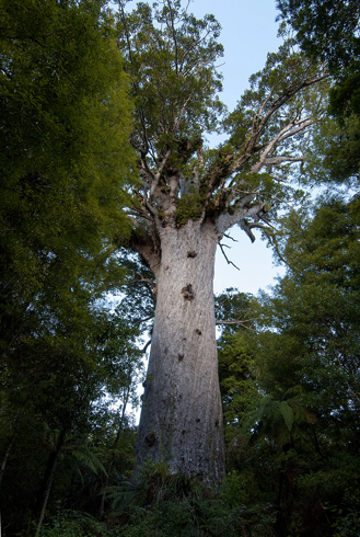 Дерево Тане Махута